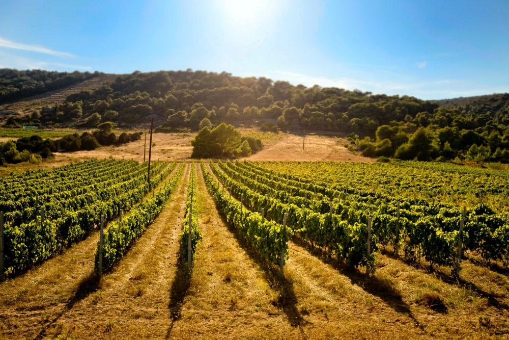 photograph of a vineyard at Korcula
